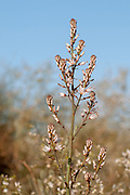 Asphodelus ramosus, also known as branched asphodel, is a perennial herb in the Asparagales order. Photographed in Israel Central Region in January