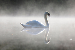 © Licensed to London News Pictures. 24/05/2016. Leeds UK. Picture shows a swan in the mist at Golden Acre park in Leeds this morning. Photo credit: Andrew McCaren/LNP