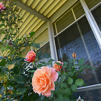 Roses outside Smith Elementary.