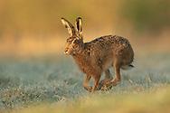 European Hare (Lepus europaeus) adult running along field margin, South Norfolk, UK. March.