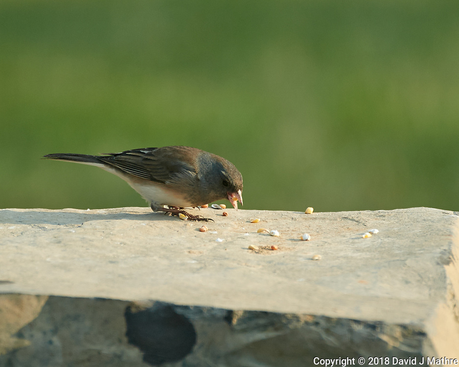 Dark-eyed Junco. Image taken with a Nikon D5 camera and 80-400 mm VRII lens (ISO 360, 400 mm, f/5.6, 1/400 sec).