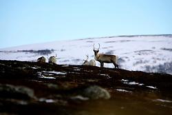 NORWAY FINNMARK 25MAR07 - Reindeer near Ytre Leirpollen in Finnmark, Norway's northermost Arctic province...jre/Photo by Jiri Rezac..© Jiri Rezac 2007..Contact: +44 (0) 7050 110 417.Mobile:  +44 (0) 7801 337 683.Office:  +44 (0) 20 8968 9635..Email:   jiri@jirirezac.com.Web:    www.jirirezac.com..© All images Jiri Rezac 2007 - All rights reserved.