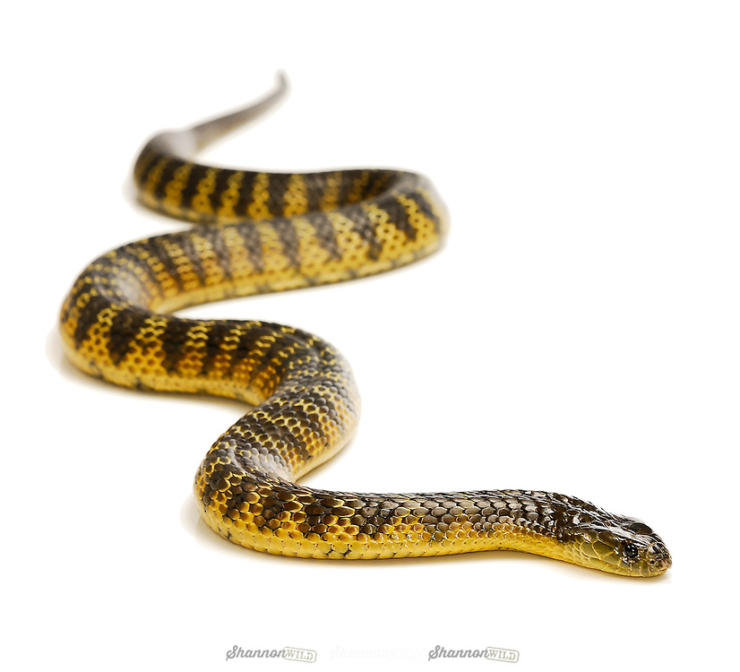Eastern or Common Tiger Snake (Notechis scutatus scutatus), native to mainland Australia. They rank amongst the deadliest snakes in the world. Female.