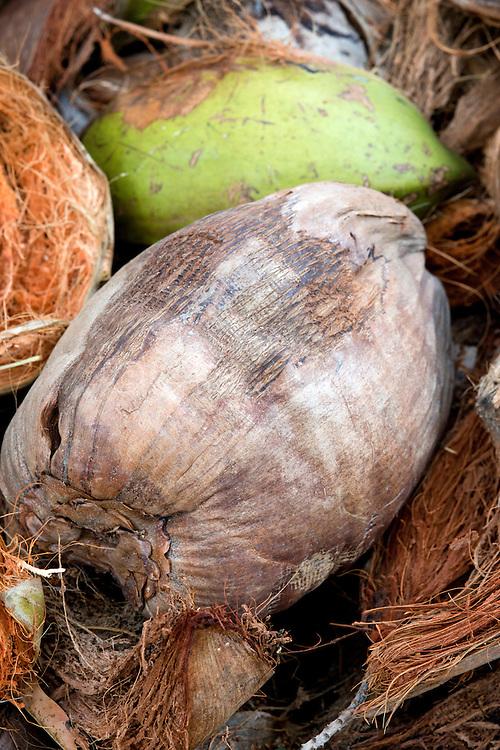 Cocos nucifera (coconut) fruit. Private garden, Cayman Brac, Cayman Islands.
