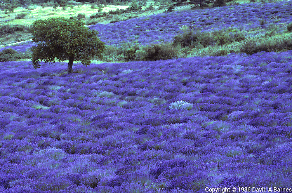 Lavender field, almond tree, High Provence, France