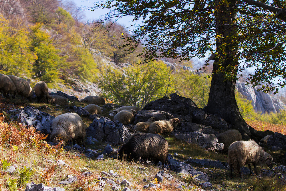 Herd of Domestic sheep (Ovis aries) seeking shelter from the sun in the shadow of an old Common beech (Fagus sylvatica) tree. Mehedinti Plateau Geopark, Geoparcul Platoul Mehedinți, Romania.