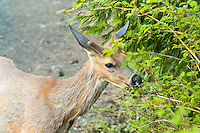A young male Columbian black-tailed deer feeds on the foliage below Hurricane Ridge in Washington's Olympic Mountains. This subspecies of the mule deer (Odocoileus hemionus columbianus) is found only in the coastal temperate rainforests and mountains of the Pacific Northwest from Northern California to Washington.
