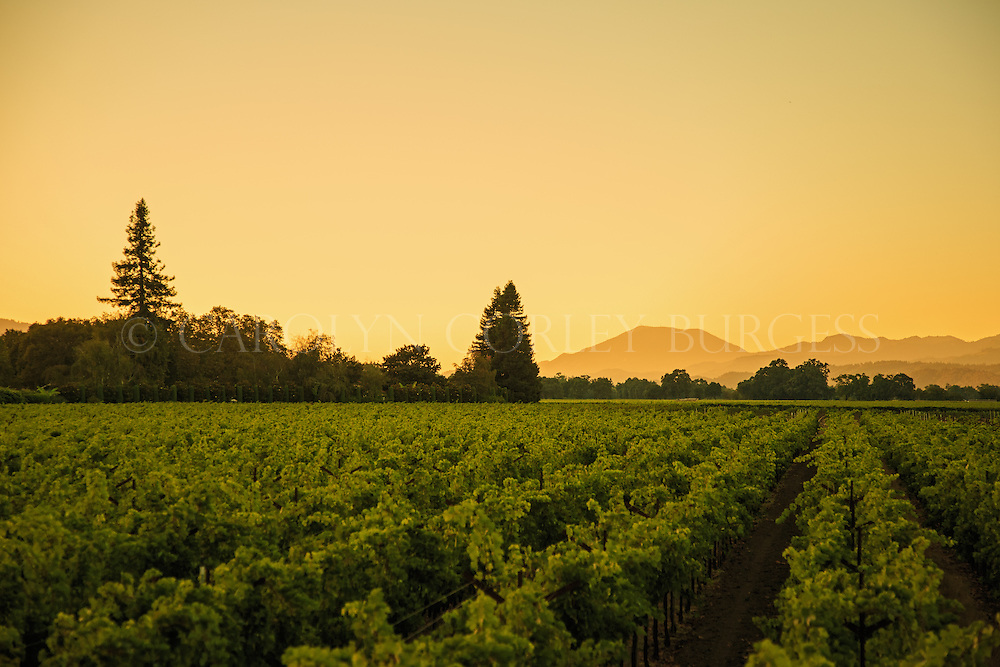 Dusk view of Swanson Vineyards in Oakville, California.