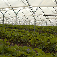 Polytunnels with strawberries plant, In this way they are usualy ready about three weeks before normal condition, making it very intereseting for Supermarkets and chains