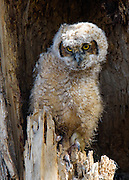 Great Horned Owlet, Boulder County, Colorado - 2015