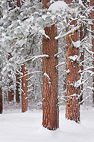 Frost covered needles on Ponderosa Pine trees (Pinus ponderosa), Methow Valley Washington USA