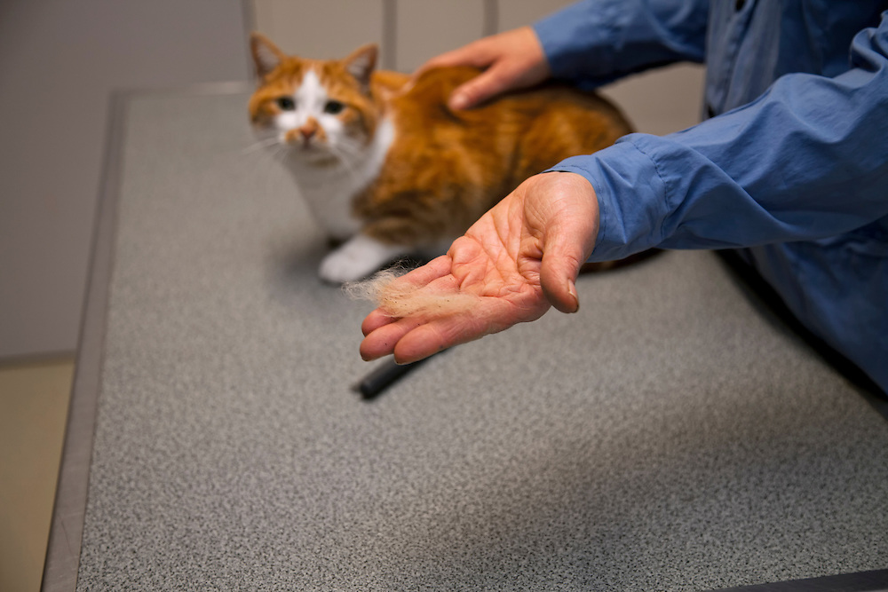 Hand from a veterinarian showing cat hair with fleas, with the cat in the background.