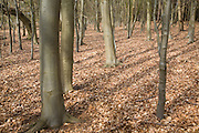 Dense growth of trees with carpet of brown leaf litter in woodland, Barthrop's Folly, Hollesley, Suffolk, England