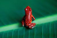 Panama  - Boca del Toro - Grenouille Endemique