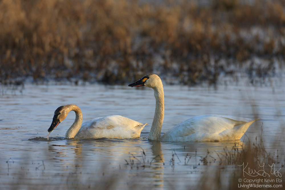 Two tundra swans (Cygnus columbianus) swim together in the Ridgefield National Wildlife Refuge, Ridgefield, Washington. Hundreds of swans spend part of the winter in the refuge.