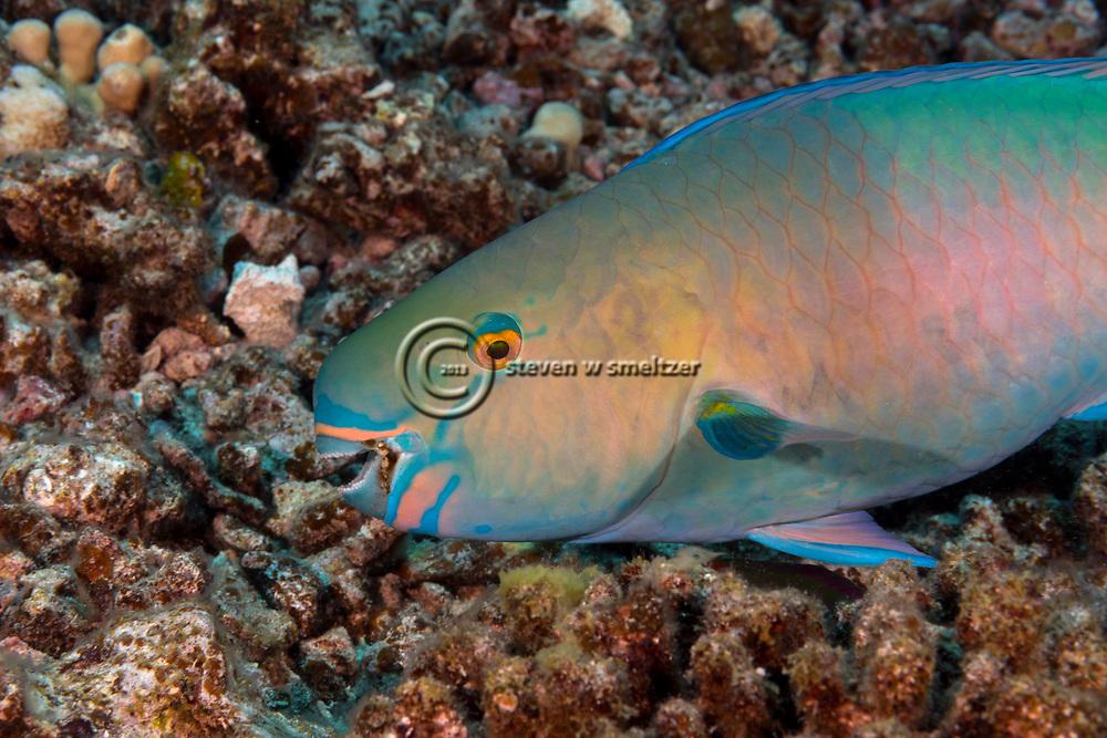 Ember parrotfish, Scarus rubroviolaceus  Bleeker, 1847, Maui Hawaii