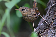 A juvenile Pacific wren that has recently feldged and is waiting to be fed by its mother. Yaak Valley in the Purcell Mountains, northwest Montana.