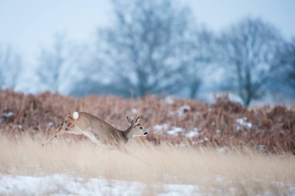 Roe Deer (Capreolus capreolus) jumping through the snow covered dunes in the Amsterdamse waterleidingduinen, The Netherlands.