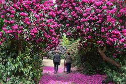 &copy; Licensed to London News Pictures. 16/05/2017. Wexham, UK.  Visitors enjoy the variety of rhododendrons which are flowering in the Temple Gardens of Langley Park.  A former royal hunting ground, Langley Park has links to King Henry VIII, Queen Elizabeth I and Queen Victoria.  Each year, the masses of flowers bloom from March to June.<br />  Photo credit : Stephen Chung/LNP