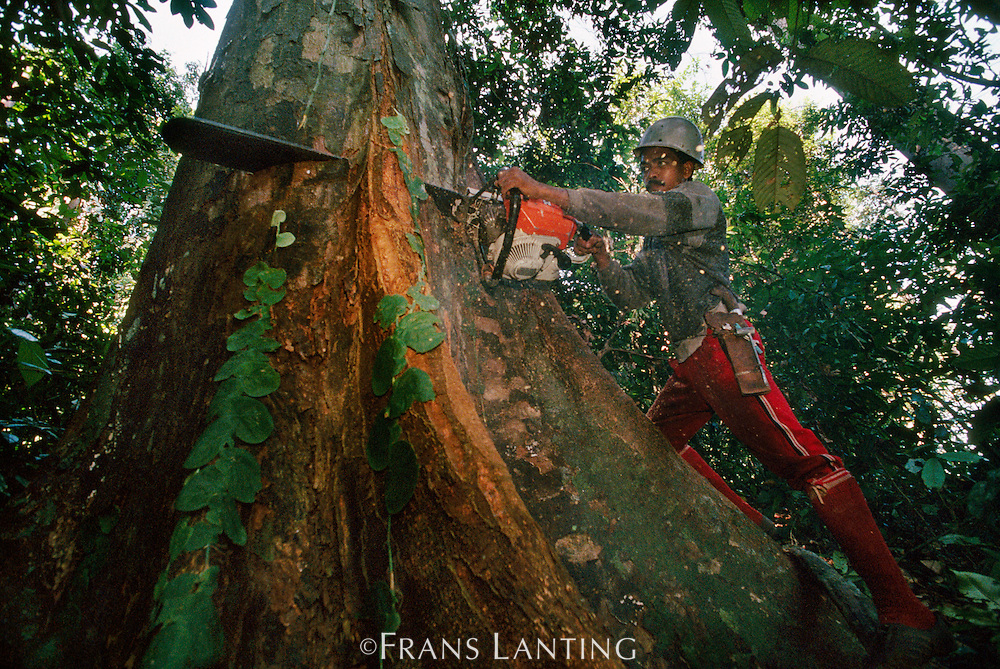 Logger cutting tree in lowland rainforest, Sabah, Borneo