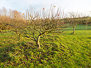 Deciduous apple trees in orchard without leaves in winter, Wiltshire, England, UK