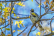Yellow-rumped Warbler - Dendroica caronata sitting in a tree preening