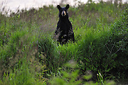 Black bear on shore of Ramsey Lake in Sudbury, Ontario, Canada.