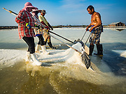 22 FEBRUARY 2017 - BAN LAEM, PETCHABURI, THAILAND:  Workers rake up salt during the salt harvest in Petchaburi province of Thailand, about two hours south of Bangkok on the Gulf of Siam. Salt is collected in coastal flats that are flooded with sea water. The water evaporates and leaves the salt in large pans. Coastal provinces south of Bangkok used to be dotted with salt farms, but industrial development has pushed the salt farms down to remote parts of Petchaburi province. The harvest normally starts in early February and lasts until early May, but this year's harvest was delayed by a couple of weeks because of unseasonable rain in January that flooded many of the salt collection ponds.   PHOTO BY JACK KURTZ