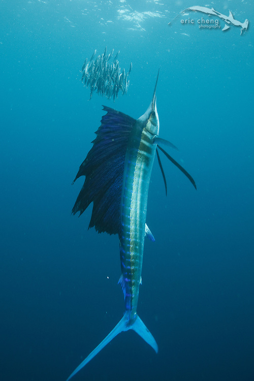 Atlantic sailfish (Istiophorus albicans) driving a school of sardines up to the surface. Isla Mujeres, Mexico.