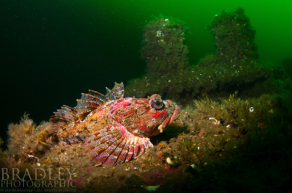 A red irish lord resting on the deck of the wreck Kathleen in Southeast Alaska