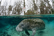 Florida Manatee (Trichechus manatus latirostris) in the Three Sisters Spring in Crystal River, FL.