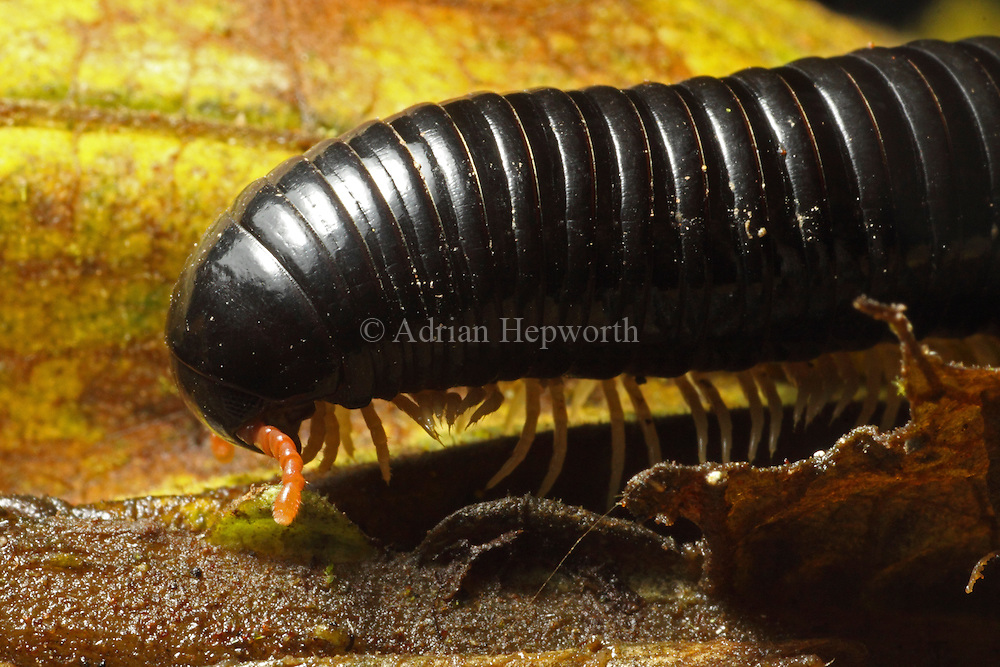 Millipede walking. Monteverde Cloud Forest Preserve, Costa Rica. <br />