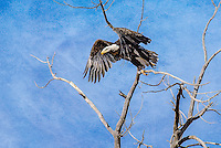 Bald Eagle [Haliaeetus leucocephalus] preparing to take flight; Fremont County, Colorado