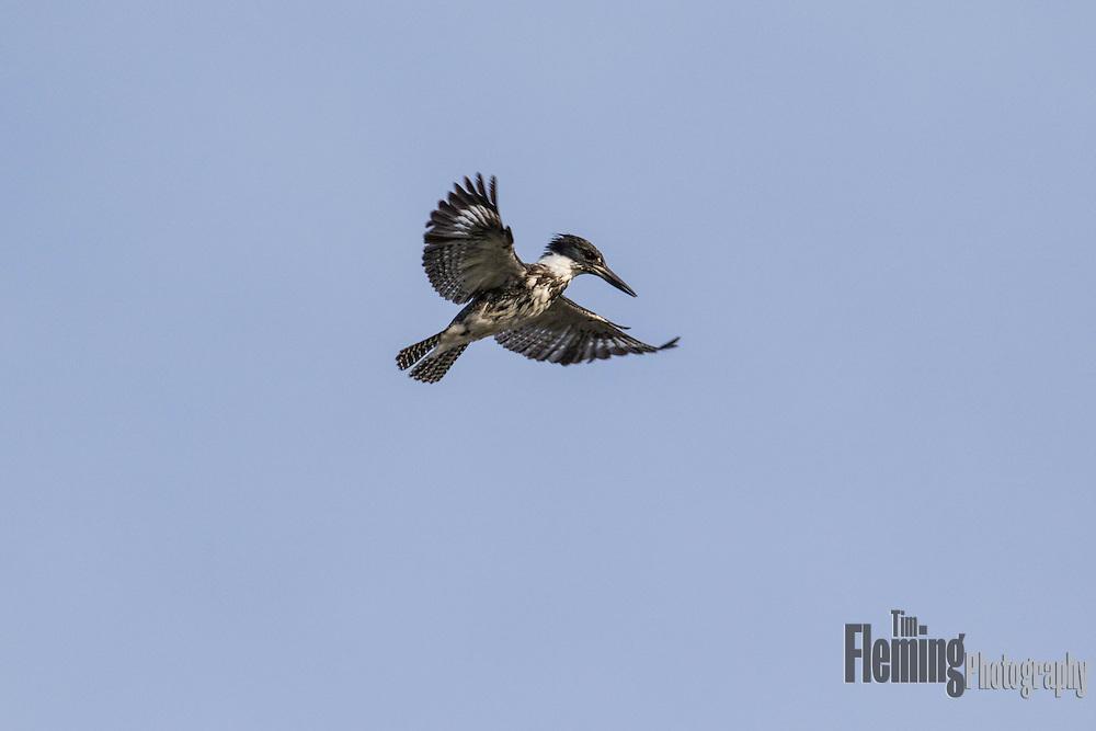 Belted kingfisher hovering above Elkhorn Slough, California