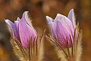 Prairie crocus (Anemone patens)<br />Sandlilands Provincial Forest<br />Manitoba<br />Canada