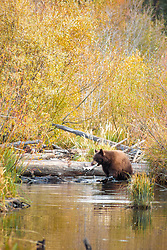 """Black Bear at Taylor Creek 2"" - This brown colored black bear was photographed with a Kokanee Salmon in it's mouth at Taylor Creek in South Lake Tahoe."