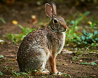 Harvey the Rabbit. Image taken with a Nikon D300 camera and 80-400 mm VR lens (ISO 1600, 400 mm, f/5.6, 1/60 sec).
