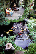 "Koi Fish pond in the backyard of Demello. California. Koi are a variety of the common carp, Cyprinus carpio. Today Koi are bred in nearly every country and considered to be the most popular fresh-water ornamental pond fish. They are often referred to as being ""living jewels"" or ""swimming flowers"". If kept properly, Koi can live about 30-40 years. Some have been reportedly known to live up to 200 years. The Koi hobbyists have bred over 100 color varieties. Every Koi is unique, and the patterns that are seen on a specific Koi can never be exactly repeated. The judging of Koi at exhibitions has become a refined art, which requires many years of understanding the relationship between color, pattern, size and shape, presentation, and a number of other key traits. Prize Koi can cost several thousand dollars each.  USA. MODEL RELEASED."