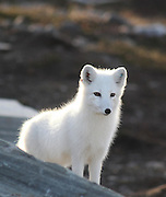 De åtte fjellrevparene på Sæterfjellet avlsstasjon på Oppdal fikk 69 valper i år, og alle skal settes ut i ulike fjellområder i vinter. Arctic fox (Vulpes lagopus). The most endangered mammal in Scandinavia. In Norway it was only about 50 individuals left when they started breeding on wild animals. 2010 is very successfull with 69 pups from eight couples. All the young ones will be transferred to the wild this winter. Supported with extra feeding.