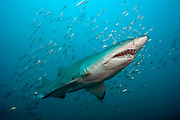 A Sand Tiger Shark, Carcharias taurus, swims near a shipwreck in the Graveyard of the Atlantic offshore Morehead City, North Carolina. This species is known as the ragged tooth shark in South Africa and as the Grey Nurse in Australia. Threatened. IUCN Red List