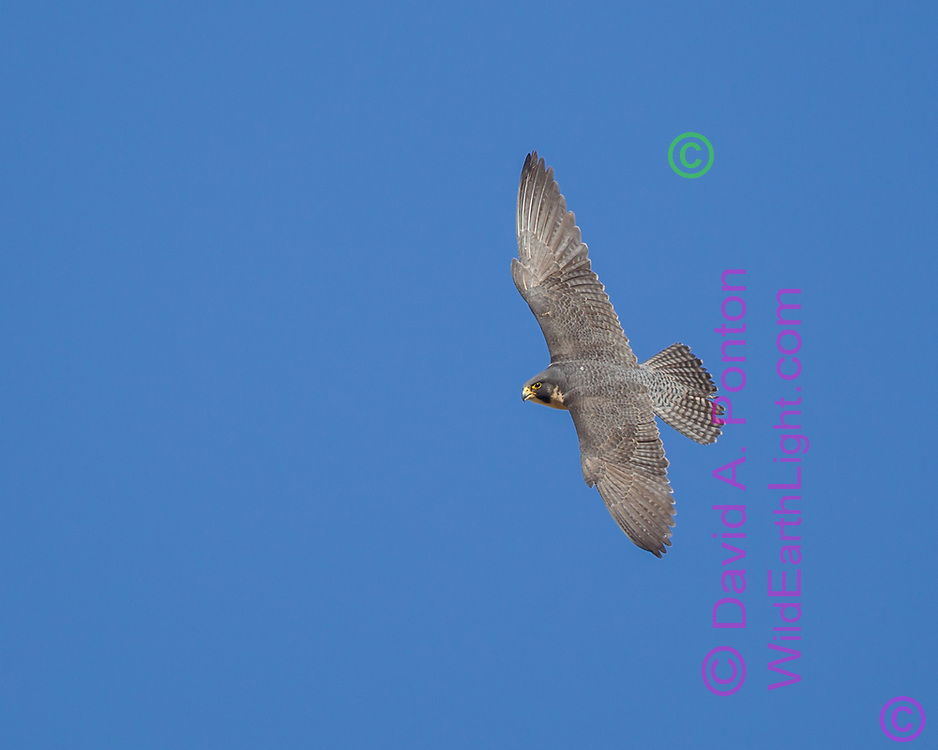 Peregrine falcon in flight, banking left, head level, tail spread, © 2011 David A. Ponton