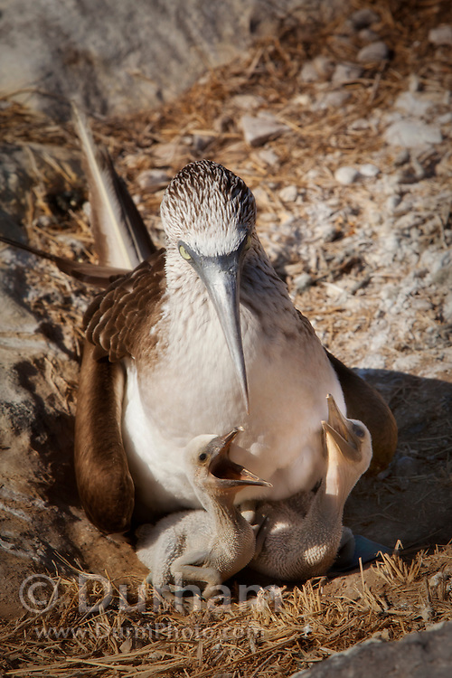 A blue-footed booby (Sula nebouxii) ground nesting with young on Espanola Island, Galapagos Archipelago - Ecuador.