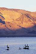 Pelicans and evening alpenglow, Bahia de los Angeles, Baja California, Mexico