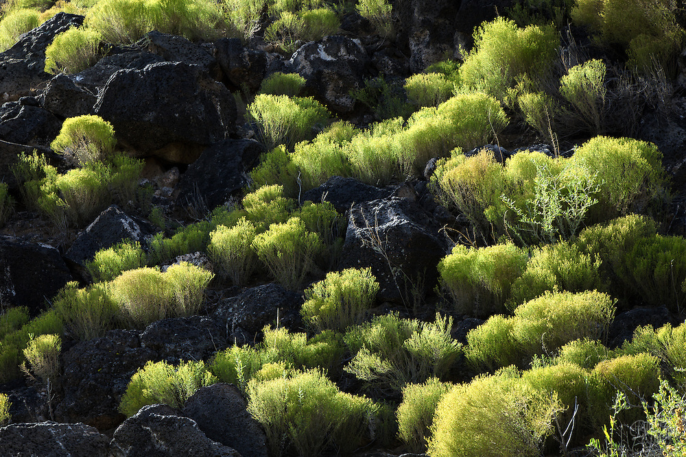 I couldn't help but take notice of the vibrant tufts of Snakeweed contrasting against the black volcanic basalt stones found in Petroglyph National Monument. The recent rain must have been welcoming in this dry region and when the sun's rays projected out from the cloud layers, the yellow-green plants burst in color.