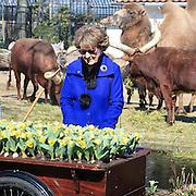 NLD/Amsterdam /20130327 - Prinses Magriet doop een tulp in Artis, Prinses Margriet bij de tulpen