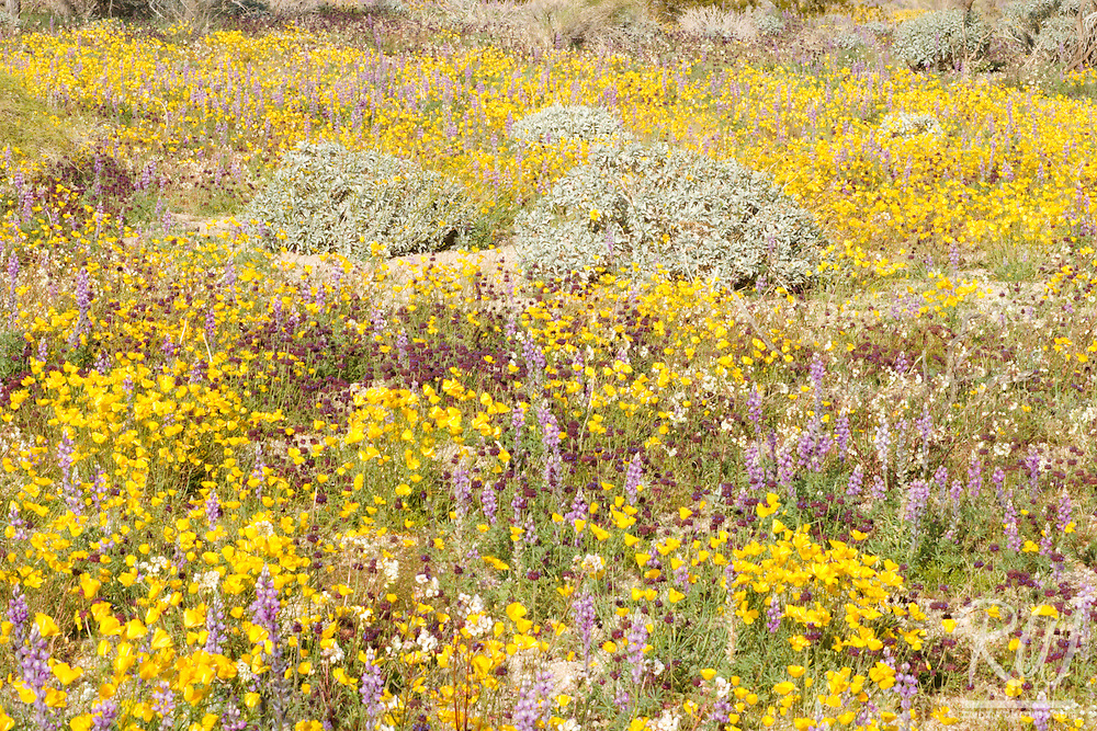 Golden Poppies and Lupine Spring Wildflowers, Joshua Tree National Park, California