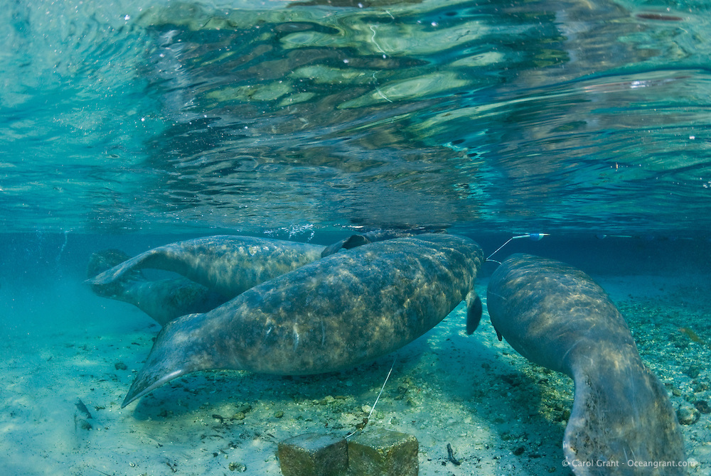 Florida manatee, Trichechus manatus latirostris, a subspecies of the West Indian manatee, endangered. February 29, 2008, rare series of the documented first day of a newborn male manatee calf that takes place out front of Three Sisters in the shallow waters in front of the manatee sanctuary. The rare event begins about an hour after sunrise. No other people, besides myself, came for almost an hour so this depicts natural manatee behaviors. It was an unusually cold, late winter morning. The newborn male calf is laying between its mother and the escort female on their backs, while being lifted to the surface. The mother and escort female are flanked on their right by the curious male manatee in the foreground and on the far left by the curious other female manatee.  The manatees are in front of the sanctuary because the water level is too shallow inside the sanctuary on this morning and there may be less room to escape curious manatee inside the sanctuary at this time. Horizontal orientation with mixing blue, aqua and green waters, lit by rainbow sun rays. Three Sisters Springs, Crystal River National Wildlife Refuge, Kings Bay, Crystal River, Citrus County, Florida USA.