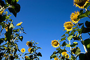 low angle view of rows of sunflowers