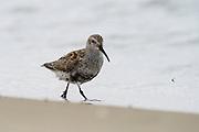 Dunlin (Calidris alpina)<br /> Little St Simon's Island, Barrier Islands, Georgia<br /> USA<br /> HABITAT & RANGE: Shorebirds migrate from Alaska and Canadian Arctic to Pacific & Atlantic coasts