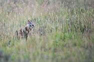 aardwolf, Proteles cristata, Erdwolf, lobo de tierra, Protèle, 土狼, アードウルフ, ذئب الأرض